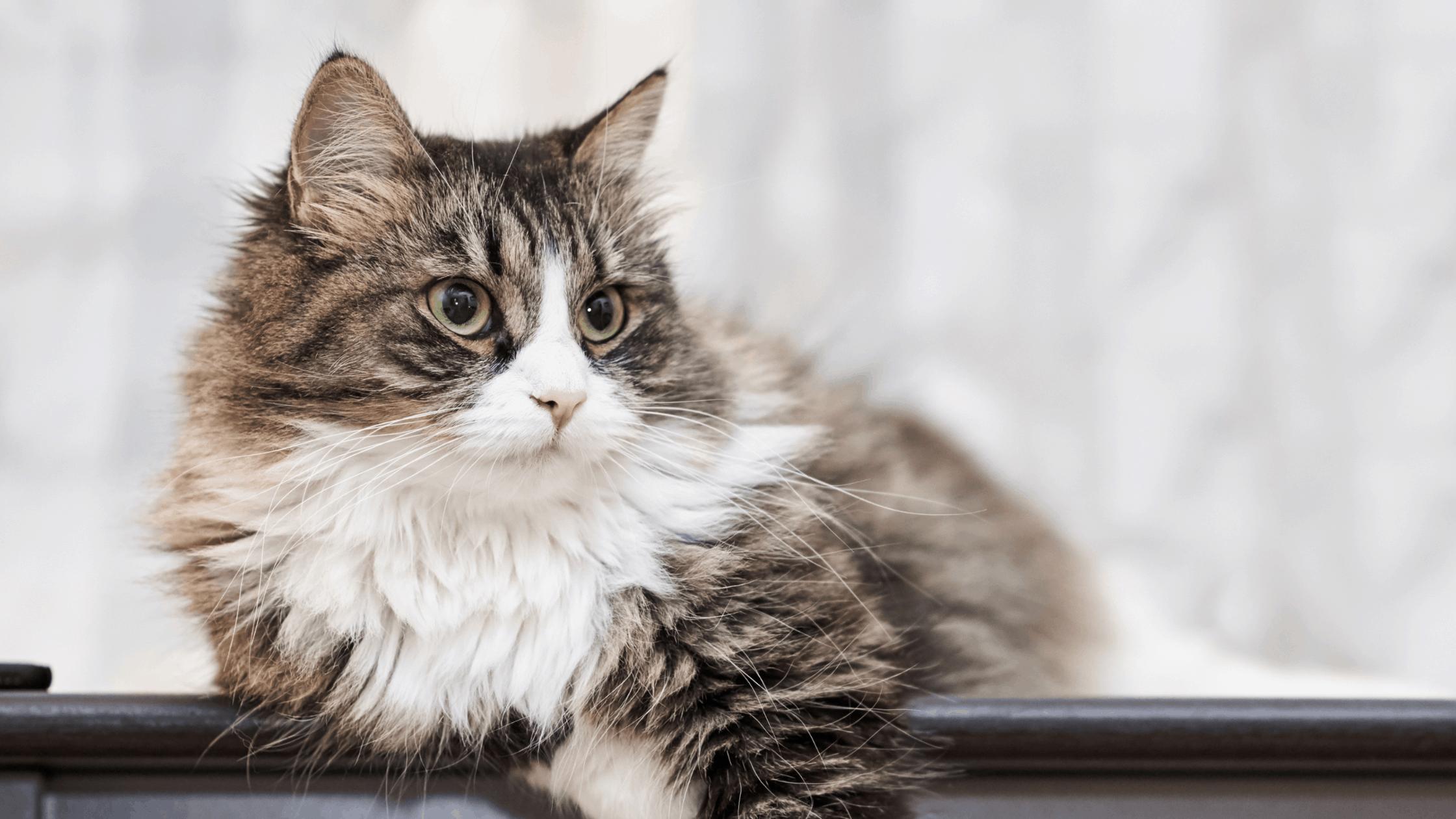 Senior Cat Insurance