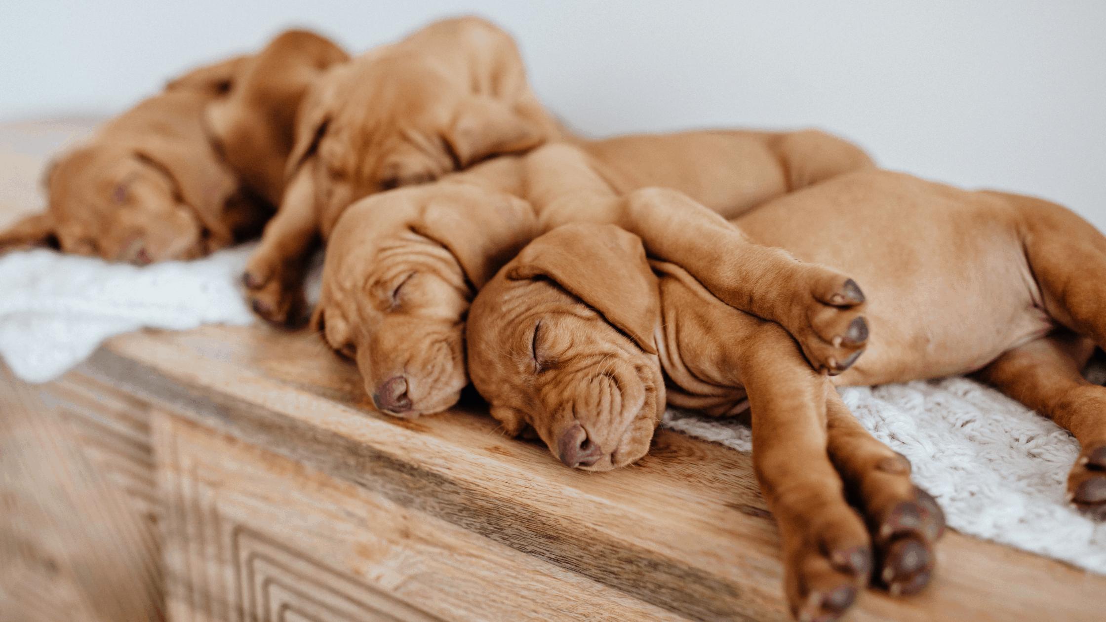 Four sleeping vizla puppies