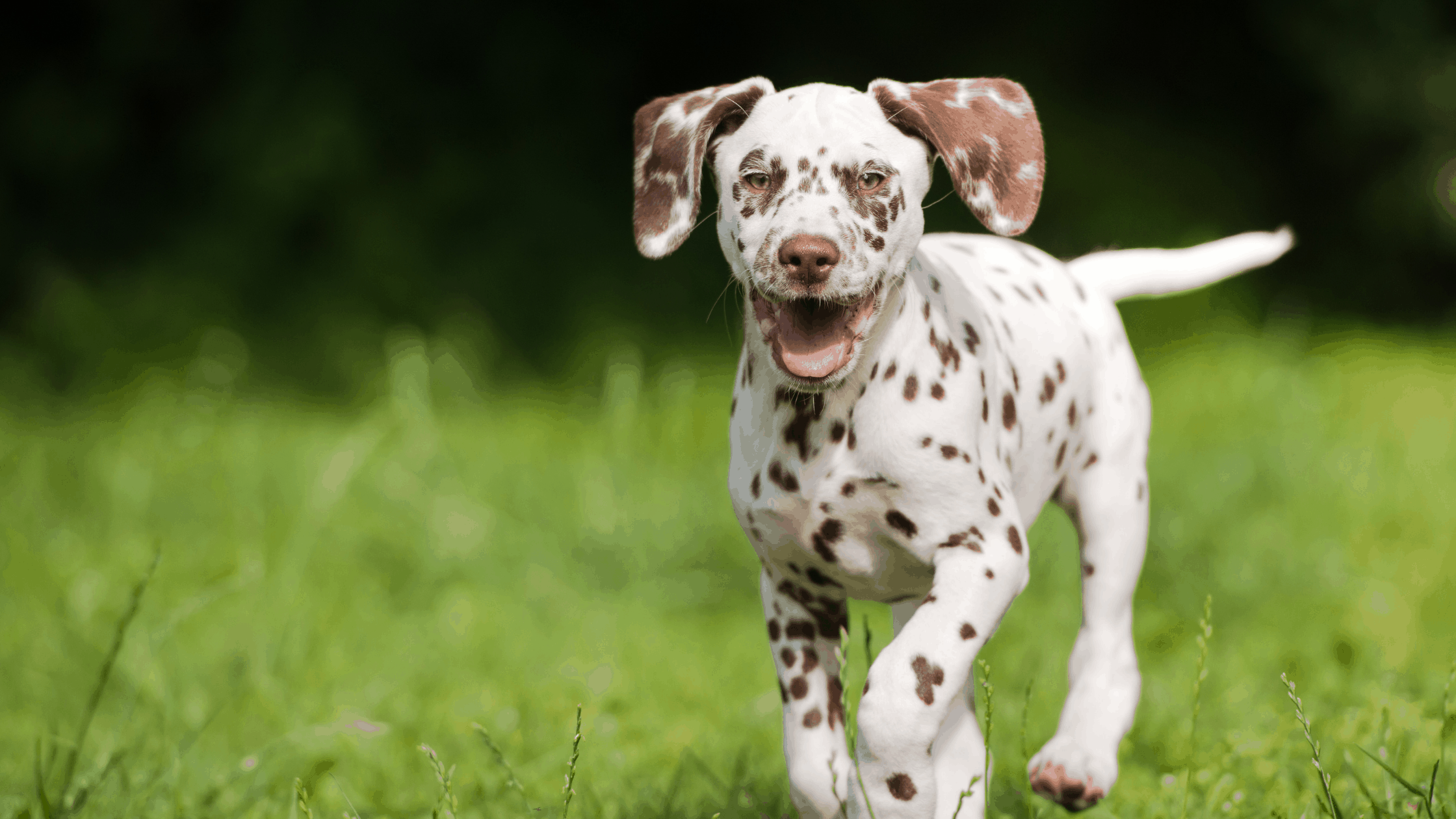 Pros and Cons of Puppy Insurance