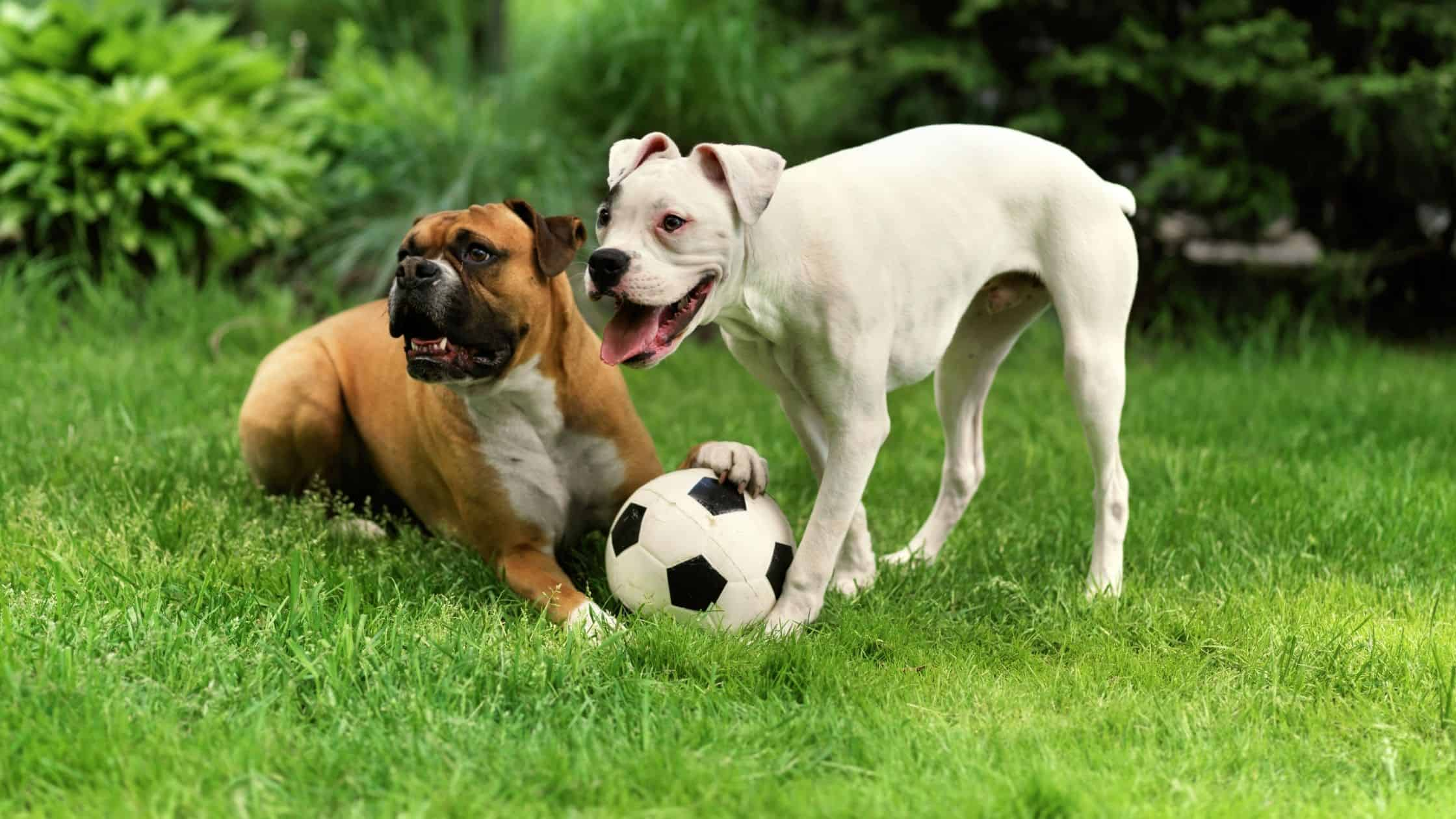 Two Boxer Dogs at Daycare
